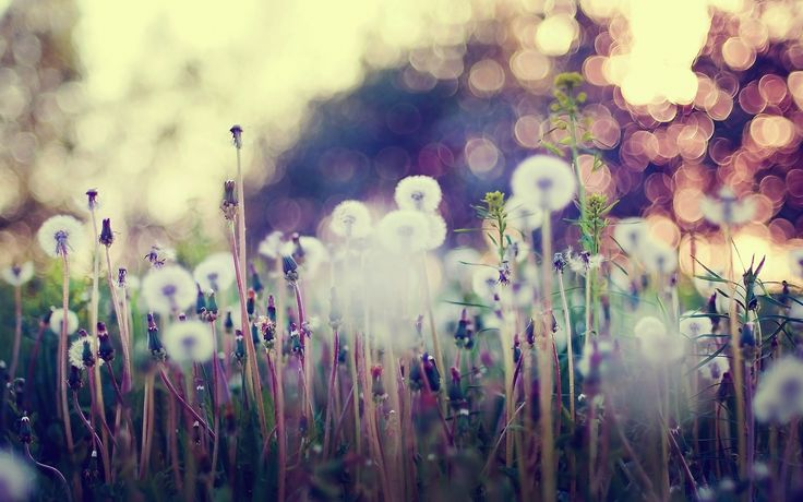 Vintage wallpaper flowers  MACRO wallpaper | macro-dandelions-grass-flowers-nature-hd ...