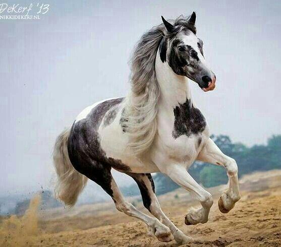 Gorgeous pinto horse.  Nikki de Kerf - Photographer