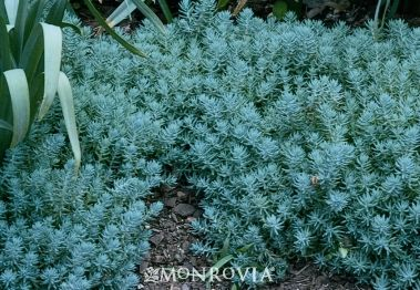Blue Spruce sedum - great for ground cover in beds, cool bluish-green color #xeriscape #succulents