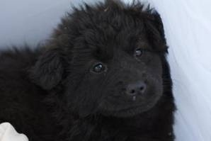 tuzzy is an adoptable Newfoundland Dog Dog in Lewis, NY. Throwaway Pups Rescue does not yet have an adoption center to meet all our dogs. If you would like to meet a particular dog, you Must schedule ...: Newfoundland Dogs, Face, Dogs Dogs, Adoptable Newfoundland, Someday Dog, Friend