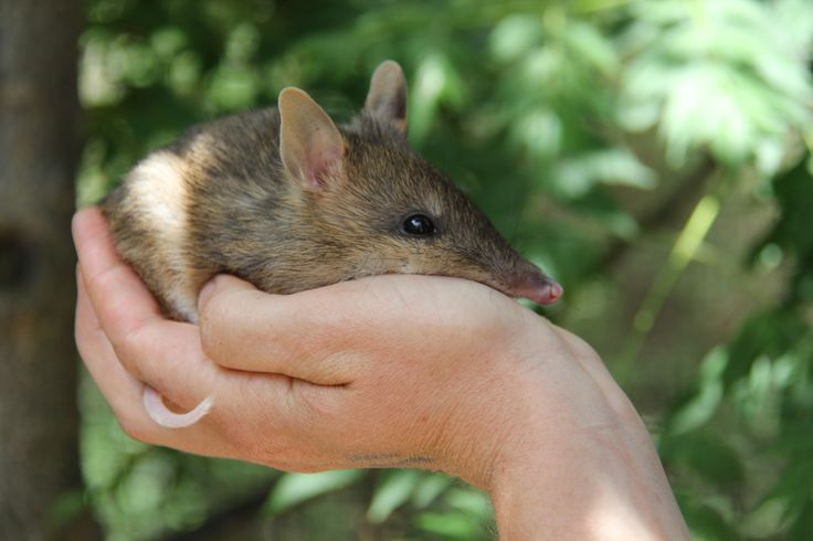 Health check for Baby Eastern Barred Bandicoot, weighing in at a healthy 182g... Did you know Eastern Barred Bandicoots are only the size of a 5c piece when they're first born?