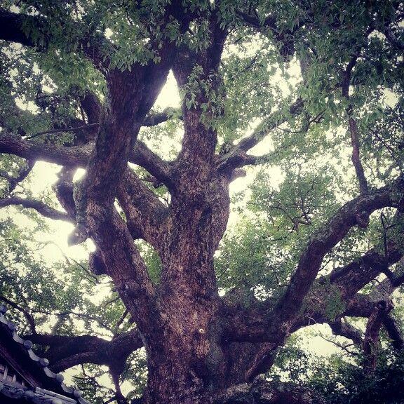 保存樹木 楠