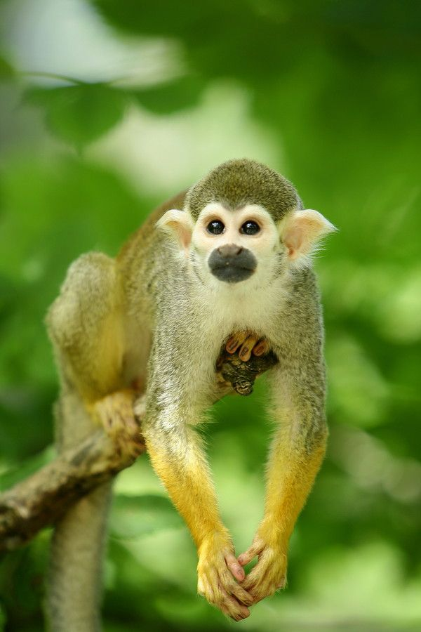 Squirrel Monkey by Raimon Bjørndalen on 500px