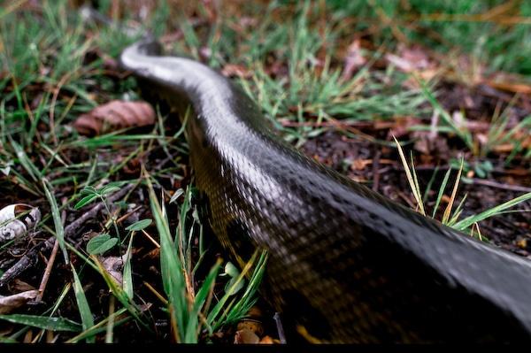 Grand anaconda © Olivier Soury  Eunectes murinus gigas