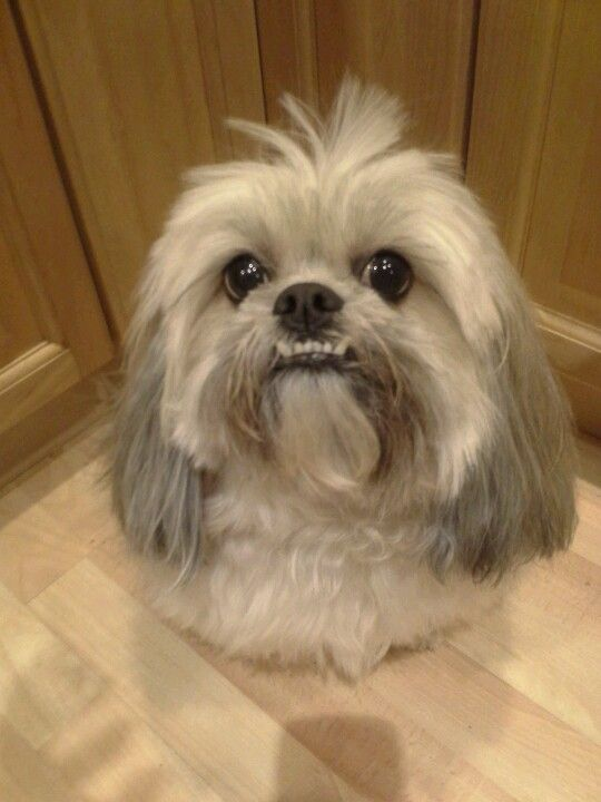 Zoey Lhasa Apso My Cutie Pies Pinterest The O