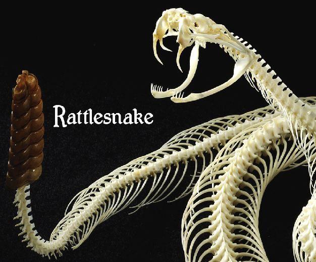 232 best anatomy reptile images on pinterest anatomy