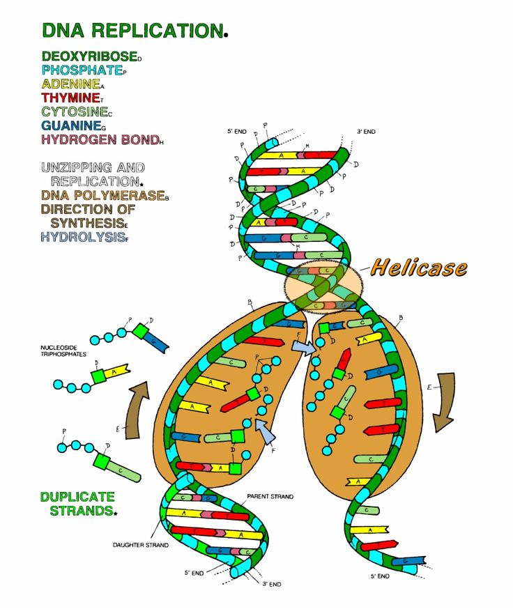 Dna the double helix coloring worksheet answer key color