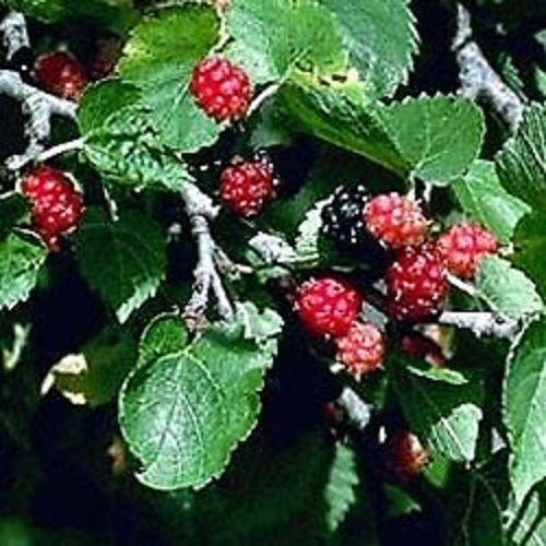 how to make black mulberry jam