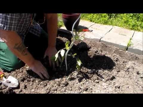Jardinage:Semis de tomates + entretien + taille (Comment faire un semis de tomates) - YouTube