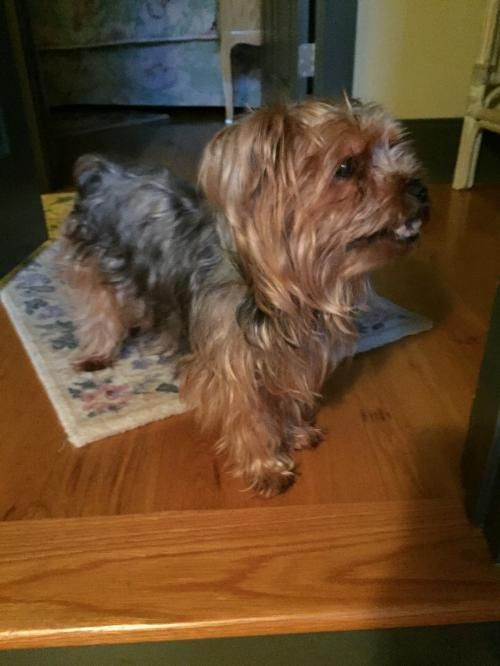 Rilee is an adoptable Yorkshire Terrier Yorkie searching for a forever family near Alpharetta, GA. Use Petfinder to find adoptable pets in your area.