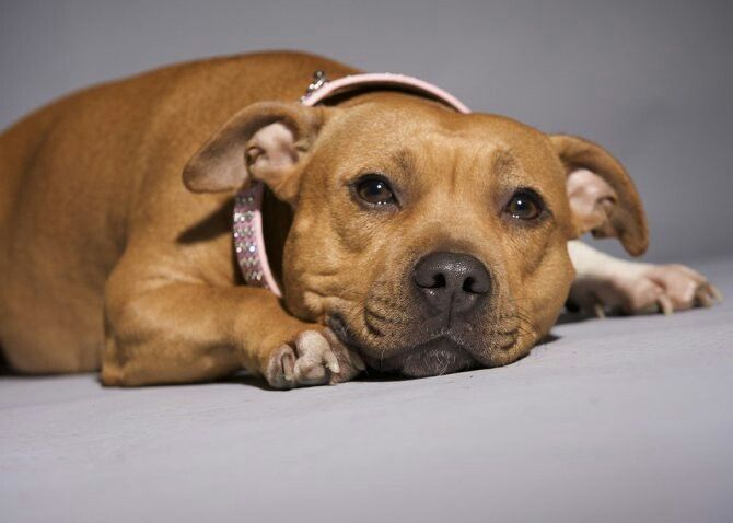 I already have a red staffy, but I would love one for my own in the future.