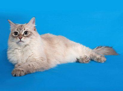 Siberiano - Rusia. Aunque los Siberianos son conocidos por soltar bastante pelo, esto es lo más cercano que hay de un gato hipoalergénico. Ellos no tienen la proteína en su saliva que causa que la mayoría de las personas estornuden y rasquen sus ojos, así que si alguna vez pensaste en tener un gato pero no podías por esta razón… finalmente estás de suerte.