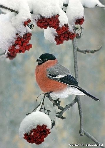 * UMMM BERRIES *: Winter Scene, Birds Feeders, Little Birds, Winter Wonderland, Robins, Beautiful Birds, Winter Birds, Feathers Friends