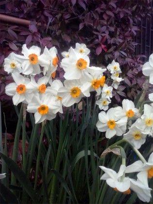 Eco y Narciso - Los Narcisos nos empiezan a alegrar la vista estos días. Se dice, que esta bella planta bulbosa debe su nombre a una historia de amor frustrada. Lee toda la historia en Jardinfamu.com