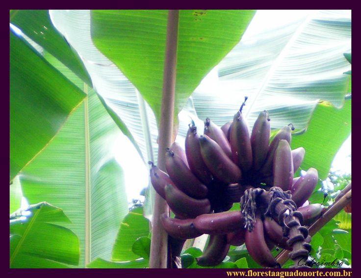 Banana roxa Musa Musacea Fruta Nativa da Amazônia Floresta Água do Norte Celcoimbra Site Santarém Pará banane violette purpurrote anana caru roxa vinho São Tomé DEF Marketing Turismo