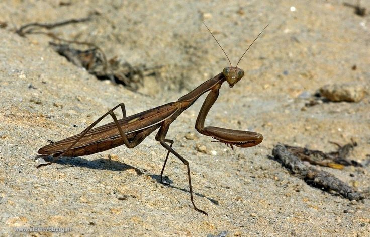 Bidsprinkhanen zijn eigenlijk geen sprinkhanen, ze zijn verwant aan kakkerlakken. Deze lag ik languit op de grond, leuke ontmoeting