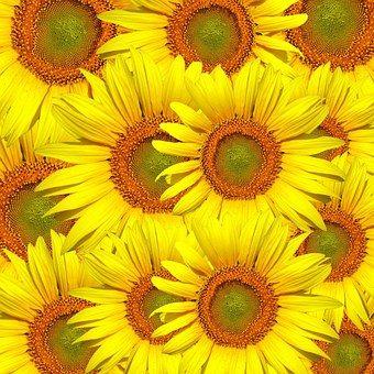 Sunflowers, Sunflower, Flower