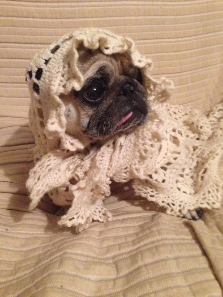 145 best pugs images on pinterest fluffy pets baby pugs and oh tiny lacy pug thecheapjerseys Gallery