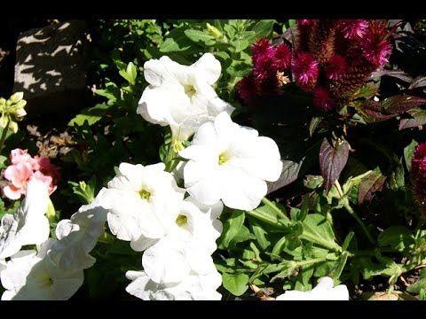 Hobi Bahçecilik - Sardunya Çiçeğinin Kış Hazırlığı (Çelikten Üretim) - YouTube