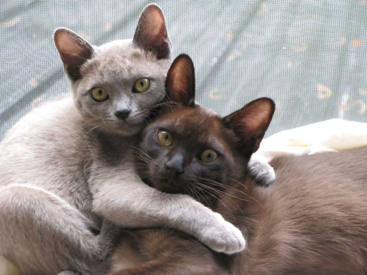 Burmese Kittens Cute burmese kittens - #singapuracat -Tops Cat Breeds at Catsincare.com!