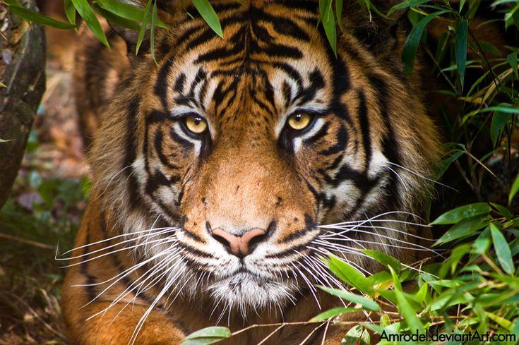 Sumatran Tiger II by amrodel on DeviantArt