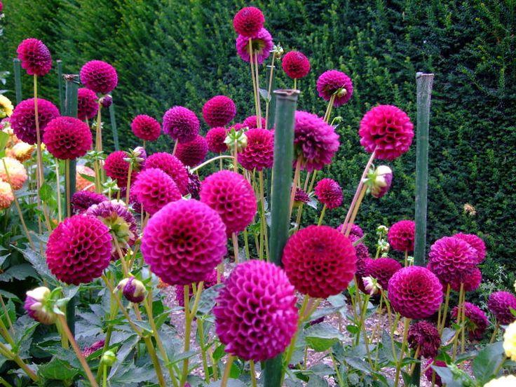 flower gardeningokinawa photo httpsflickrptsfymb dahlia www