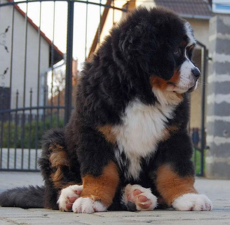 I want one of these dogs so bad :) Bernese Mountain Dog.