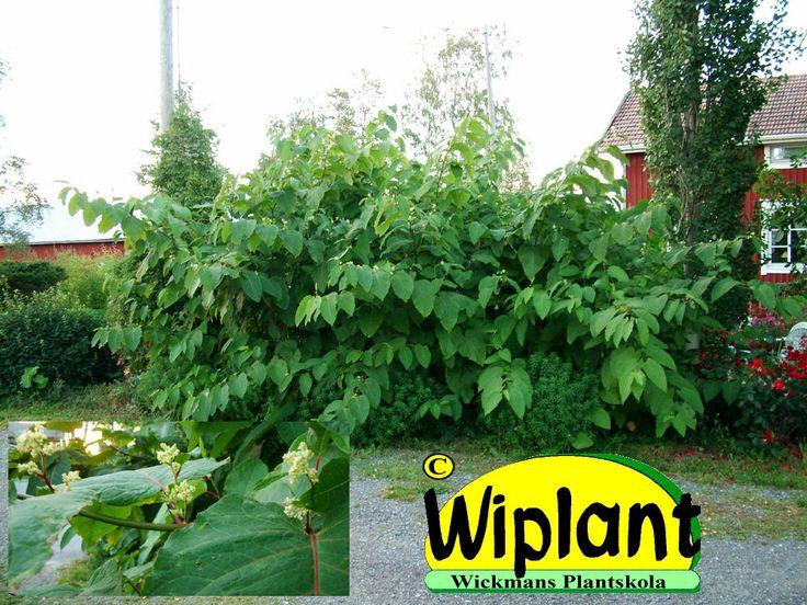 Fallopia saccaliensis, jätteslide-jättitatar. Den här är perennernas superväxt med höjd upp till 4 meter. Djupa kraftiga rötter som växer med utlöpare och sprider sig så småningom till stort område om man inte har rotspärr i form av rotmatta eller annat motrsvarande. Jättesliden finns med på listan med växter som man ska se upp med så att man inte planterar dem till förtret för odlingar och grannar.