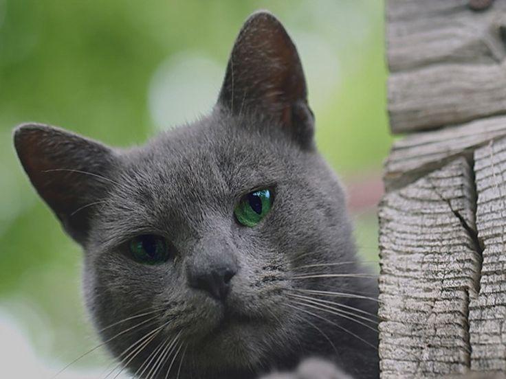 gatos cinzentos - Pesquisa do Google