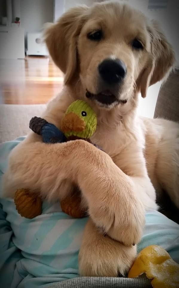 Poppy Xoxo Omg Dog Love Dogs Golden Retriever Cute Puppies