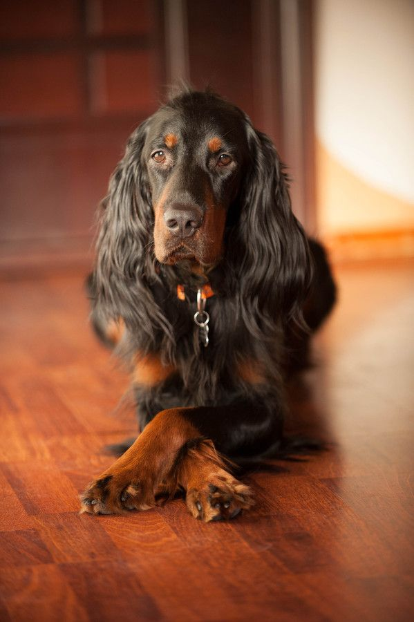 Beautiful Gordon Setter.  This is exactly how my Echo laid.  Such a sweetheart!