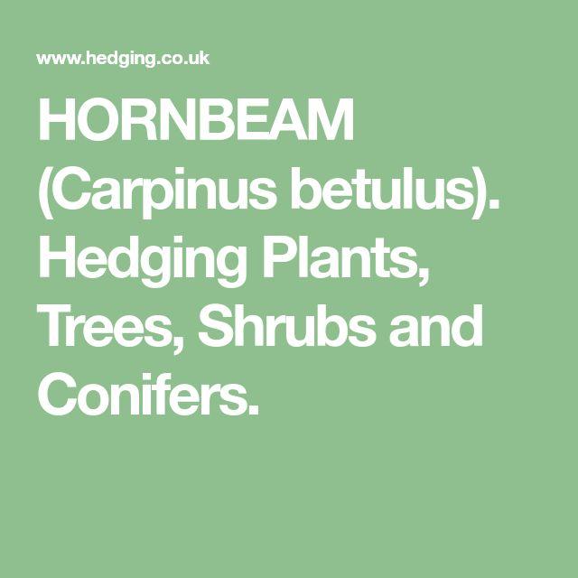 HORNBEAM (Carpinus betulus). Hedging Plants, Trees, Shrubs and Conifers.