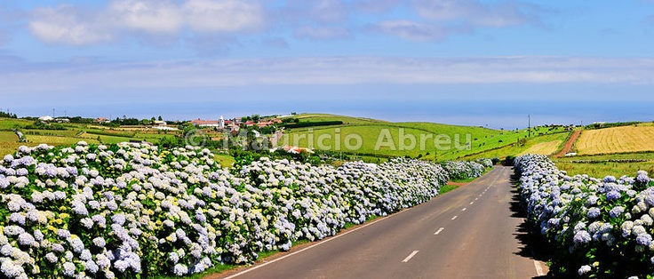 Road bordered with hydrangeas near São Tomé. São Jorge, Azores island, Portugal