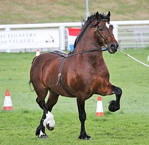 Cruglwyd Guto Welsh Cob. Great for pulling carriages