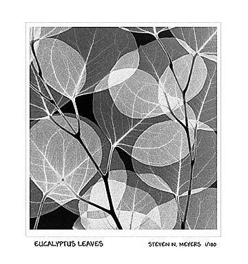 Eucalyptus Leaves x-ray - Steven Meyers - own it, love it!