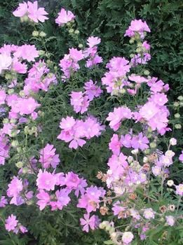 Learn More About Malva Alcea Fastigata (Musk Malva)! Read Up On This Plant  Or Stop Into Sunnyside Gardens In Minneapolis To Talk To Our Experts!