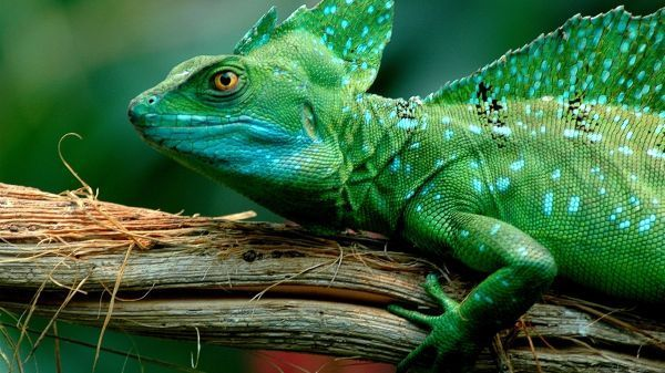 Chameleon Top 10 Animals With Shorter Life Span In The World