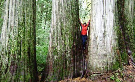 Giant cedar around Bella Coola, BC