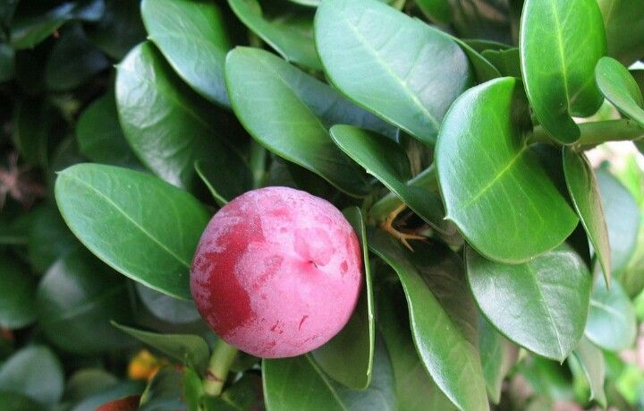 Carissa macrocarpa (Natal plum) - An African fruit could become as popular as a cranberry
