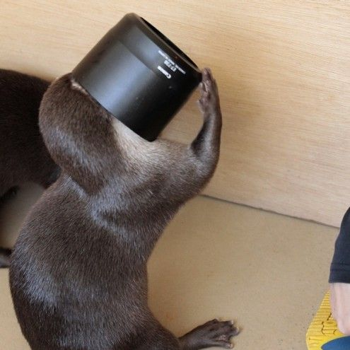 Otter Tries to Figure Out Human's Camera Equipment 2