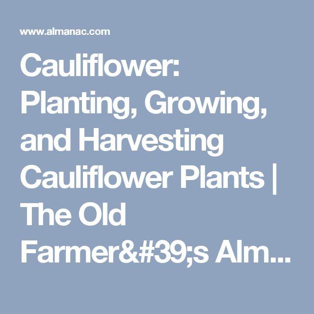 Cauliflower: Planting, Growing, and Harvesting Cauliflower Plants   The Old Farmer's Almanac