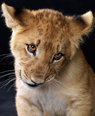 31 best baby lions 333 images on Pinterest  Baby lions Lion cub