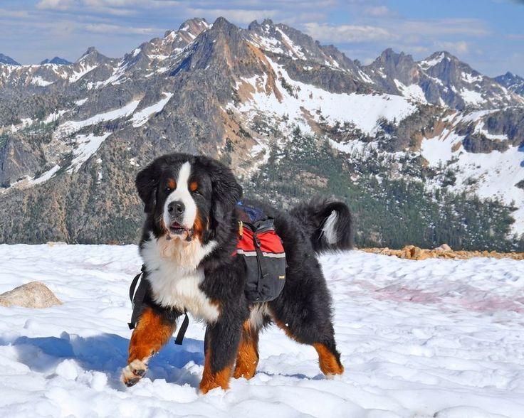 """Tonka."" Bernese Mountain Dogs enjoy trekking."