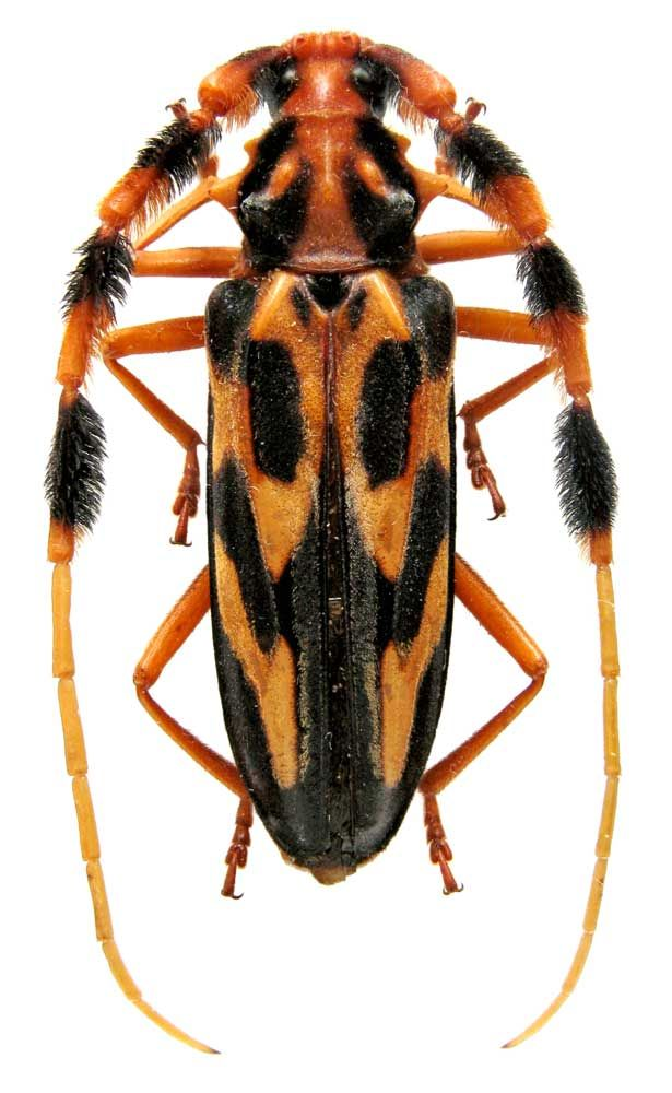 An exotic longhorn beetle: Batus barbicornis (Linnaeus, 1764)  (Cerambycidae) Peru, Iquitos
