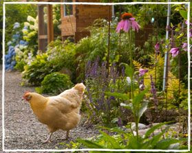 free-range chicken gardens how to create a beautiful chicken-friendly yard