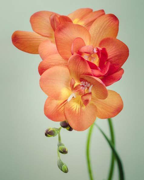 Fine art flower photography print of an orange freesia flower by Allison…