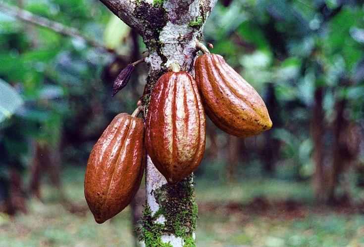 cocoa-bean-pods.jpg 1,746×1,188 pixels