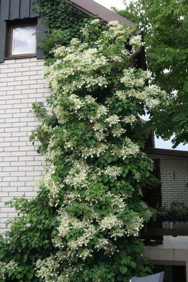 Hydrangea anomala ssp. petiolaris - Klängväxter övriga - Klängväxter - Växter