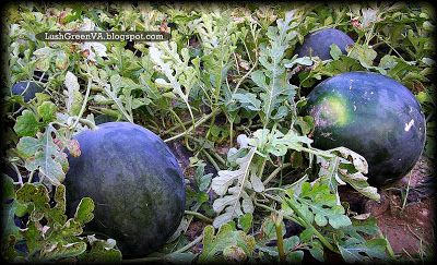 LushGreenVA: When Should You Harvest Your Sugar Baby Watermelons?
