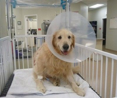 Golden Retriever Returns Home After Battling the Effects of Heat Stroke. Learn what you can do to avoid heatstroke and act quickly in an emergency.